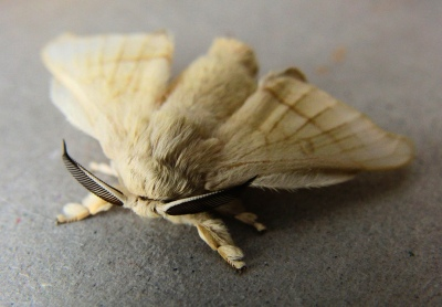 Mulberry silk moth